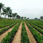 2, 000 000 Tenera Palm Seedlings Already Planted In Abia Under Ikpeazu, 2, 000 000 More To Be Added By Years End
