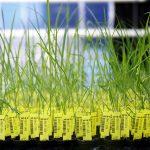 Endorsing Genetically Modified Organisms in Nigeria: Matters Arising